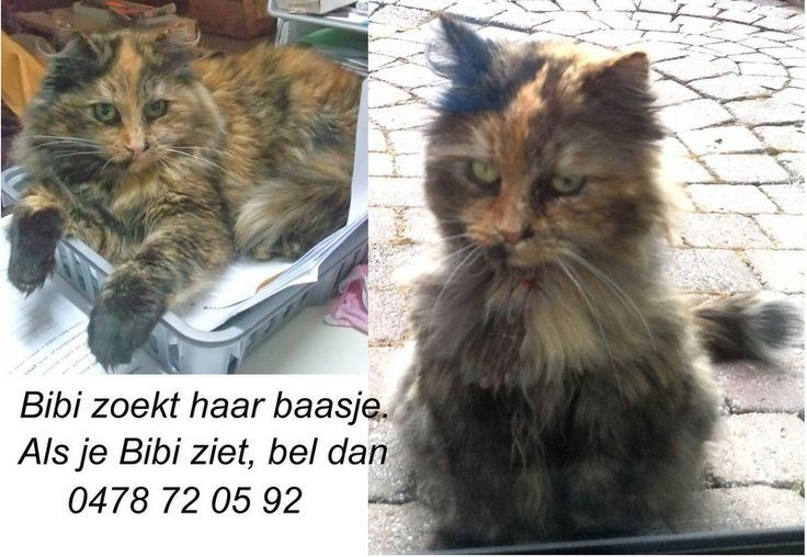 VERMIST.  Bibi is mee verhuisd van West-Vlaanderen naar Leopoldsburg. Bibi heeft halflang haar is 5 jaar oud en heeft een gevlamde beige, bruine, zwarte rosse vacht. Haar sokjes zijn zwart en ze heeft een pluimstaart. Als u Bibi gezien hebt of weet waar ze nu is, gelieve dan zo snel mogelijk contact op te nemen 0478/72.05.92 of via e-mail : dw_an@hotmail. Zoveel mogelijk delen aub.