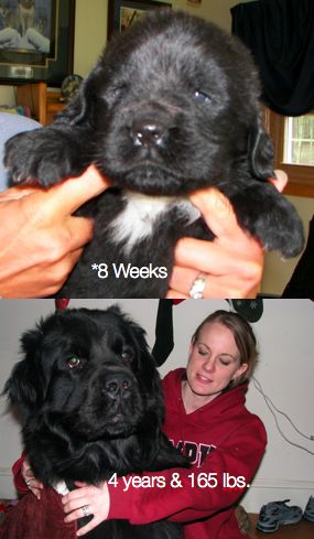 165 lb Newfy, Atticus. Then and now