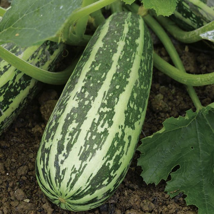 Marrow F1 Tiger Cross Seeds - Suttons Seeds and Plants