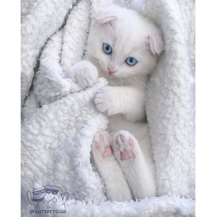 Best ねこ Images On Pinterest Animals Kitty Cats And Cats - This is pam pam the kitten with heterochromia with hypnotic eyes you just cant stop looking at