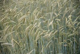 Although sometimes used interchangeably, wheat allergy and gluten allergy are different conditions that may have different symptoms. Wheat is one of the eight most common food allergies in America. For people with wheat allergies, following a wheat-free diet may be the primary defense against an allergic response. A physician or registered...