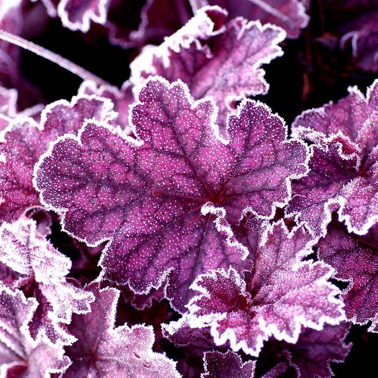 Heuchera 'Midnight Bayou' - Herbaceous Border Plants - Van Meuwen