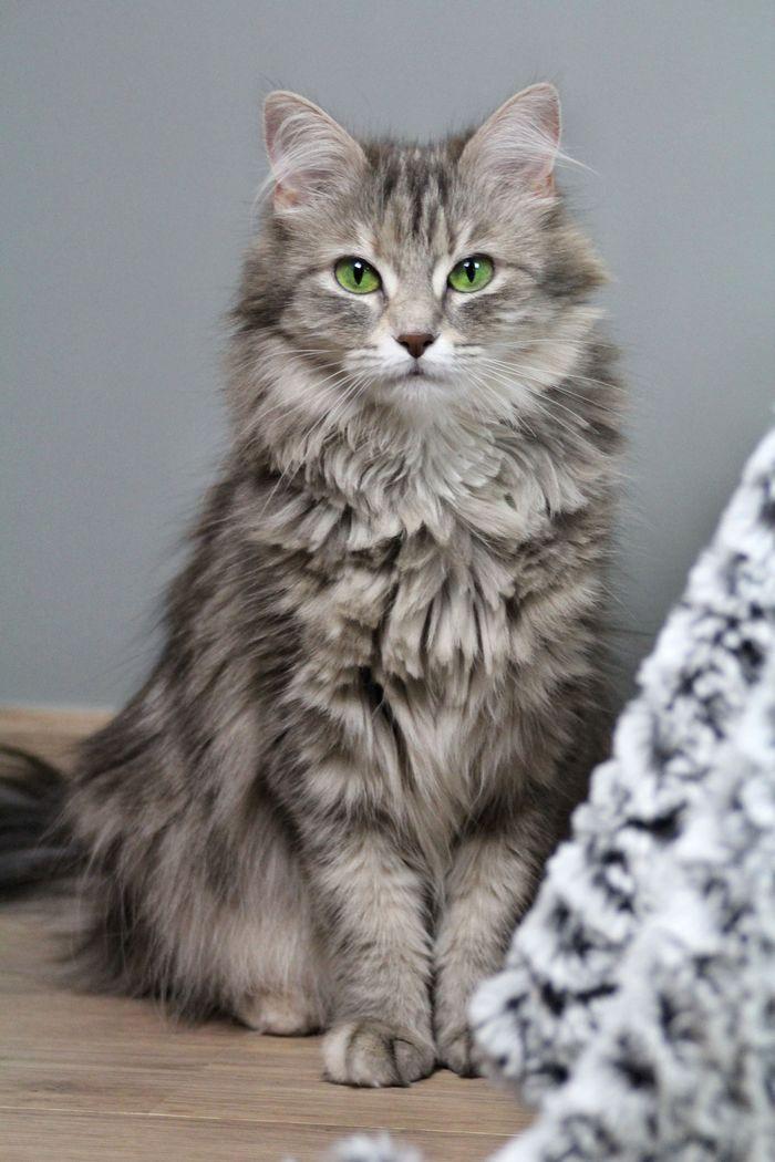 chat adulte gris, green eyes, cat, katze #lesfilous