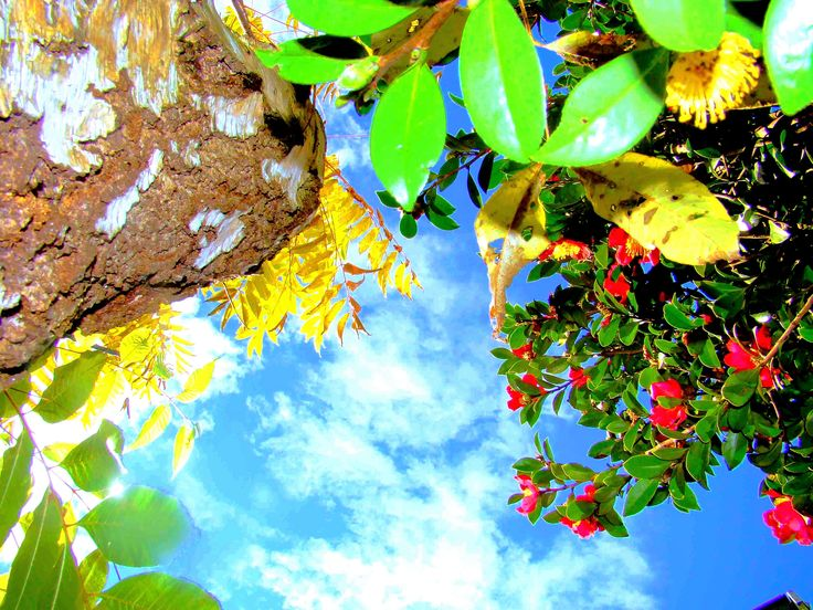 Up.... Sometimes it's nice to lie on the ground and see the world from a bug's point of view.  I took this shot in our back garden at my old house.  #stusroadtrips #photo #photooftheday #bluesky #sun #tree #leaves #clouds #plants #colour #flower  #myshot #bright #blue #green #yellow #treetrunk #bark #picture #up #lookingup #mygarden #nature #garden #trees