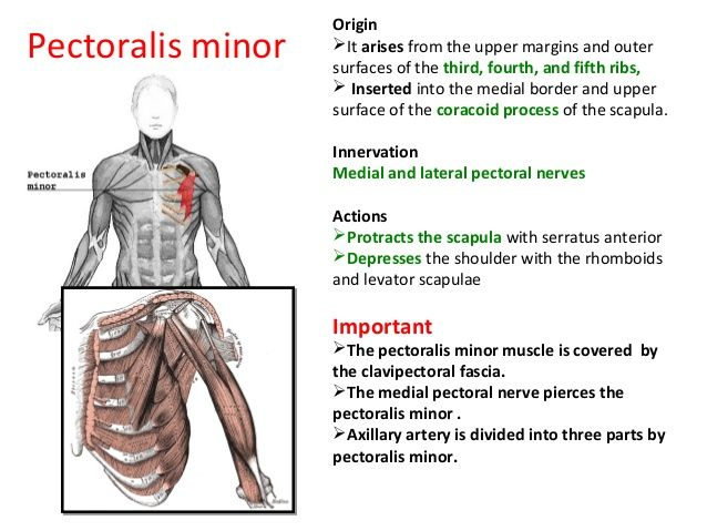 The Anatomy Of Pectoral Region Anatomy Pectoral Muscles Region