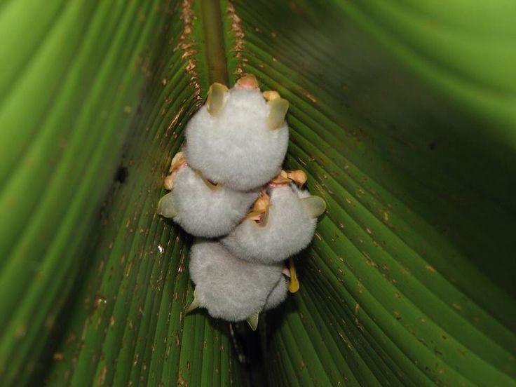 Cuccioli di pipistrello bianco dell'Honduras