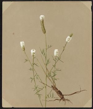 From the collection at Andersen Horticultural Library. Emma Roberts (1859-1948), a watercolorist from Minneapolis, founded the Handicraft Guild, and was supervisor of drawing for Minneapolis Public Schools. Emma painted Petalostemon candidus (White Prairie Clover) in Minneapolis. It is dated August 3, 188?.