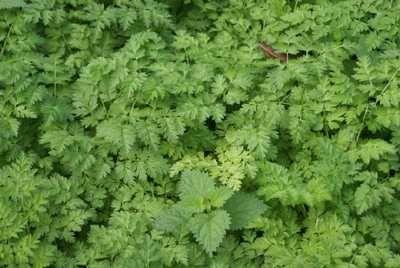 Il cerfoglio selvatico (Anthriscus sylvestris) può ricordare il prezzemolo per via della forma e del colore delle sue foglie. Si tratta però di una pianta commestibile differente, selvatica, utilizzato come rimedio erboristico diuretico e nella cosmesi naturale. Le sue foglie possono essere utilizzate crude per il condimento di funghi ed insalate.