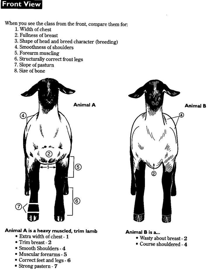 4-H sheep | Learning to judge 4-H Livestock Judging Programs
