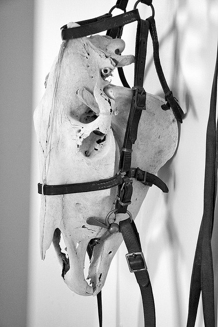 Horse skull, would be great as a display with a carved Balinese horse scull