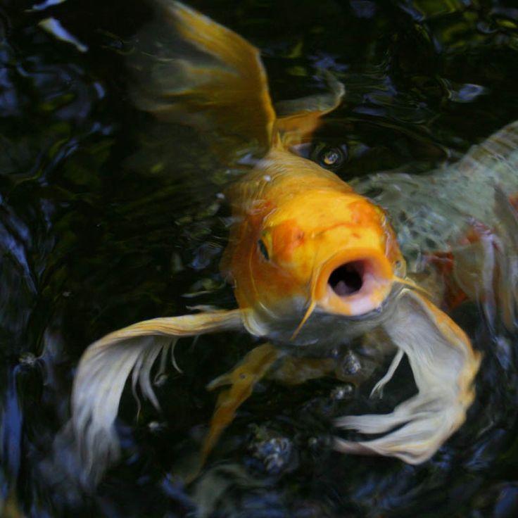 Butterfly koi basic facts to know butterfly koi koi for Koi pond basics
