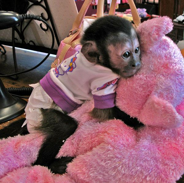 baby capuchin monkey clinging to a toy as he would to his mom