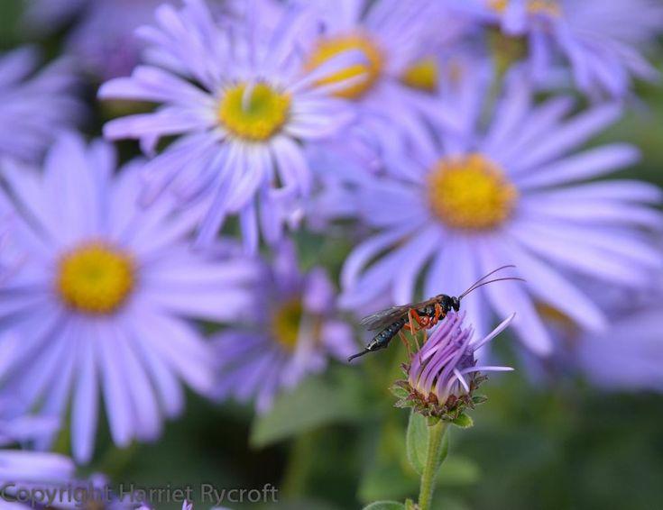 Ichneumon wasp on Aster x frikartii 'Monch'.  V stately flier.