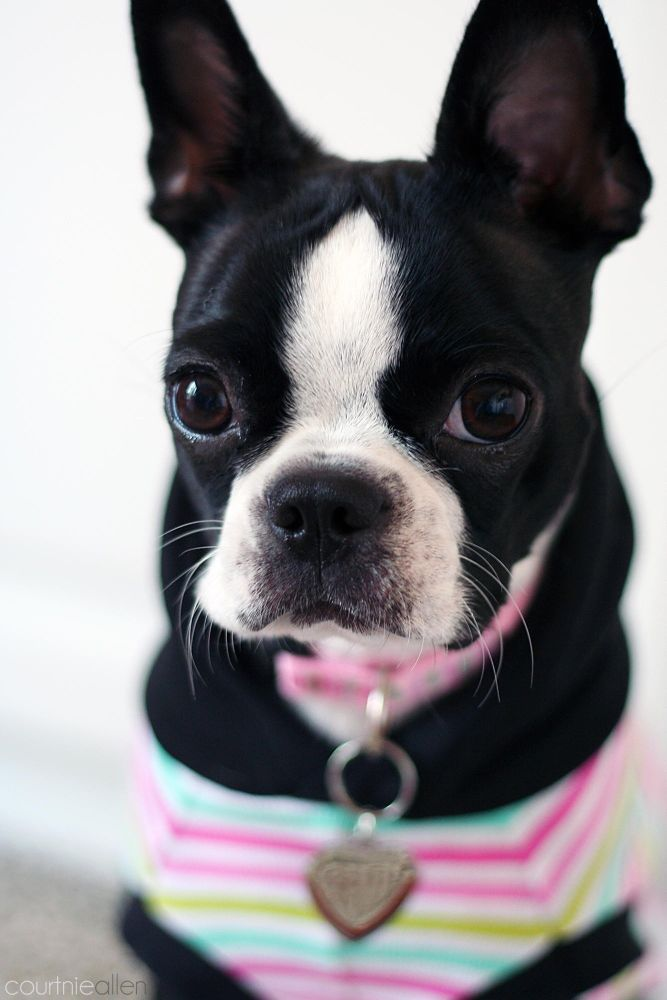 Pretty Boston Terrier by Courtnie Allen on 500px - http://amzn.to/2h50xSk