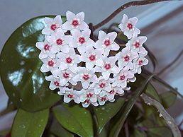 Hoja masitá (Hoya carnosa)