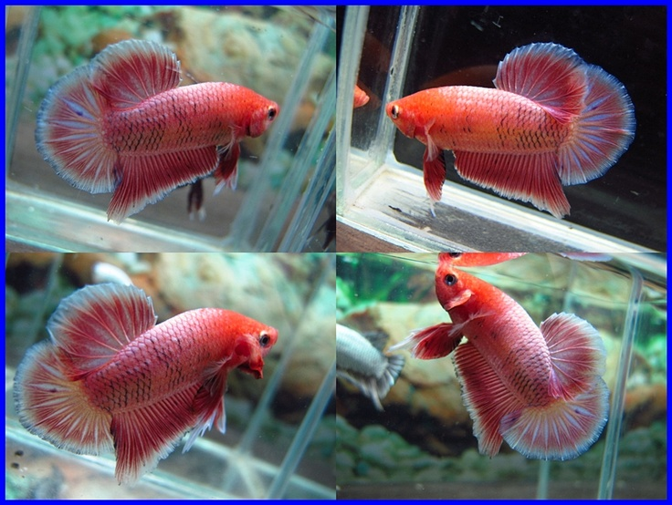 93 Best Images About Beautiful Betta Fish And Their Homes