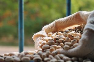Cultivar de feijão-caupi BRS Tumucumaque  cowpea; feijão-de-corda; feijão-macassar