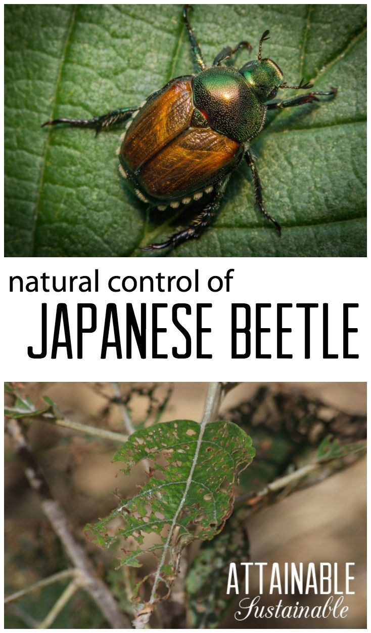 Controlling Japanese beetle & Chinese beetle in organic gardens.