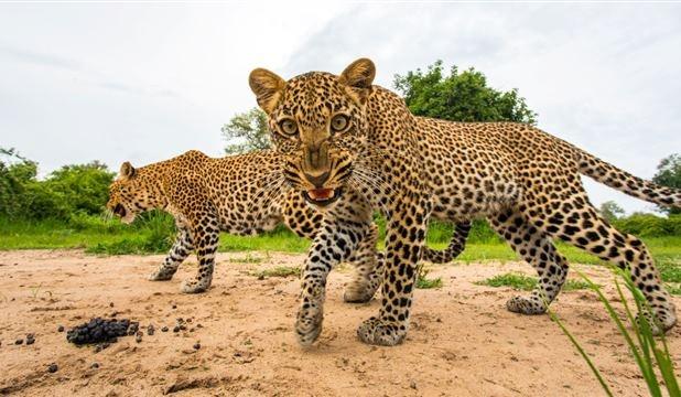 Will Burrard-Lucas' Fierce Leopard (Feb 2013)