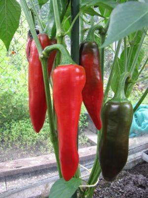Verzorging peperplanten