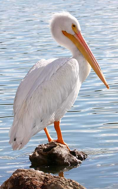 Q Es Un Pelicano Pelícano blanc...