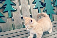 Napoleon Munchkin Kittens ITS FOR SALE! I want it so bad