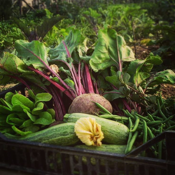 #orto #vegetable #zucchine #rape #fagiolini #insalata #portulaca #nature #bin #foligno #senzantorto