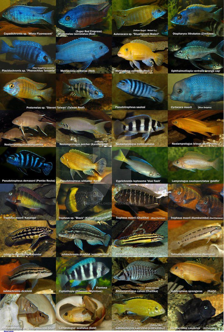 Freshwater aquarium fish library - African Cichlids Poster By Michellalonde On Deviantart