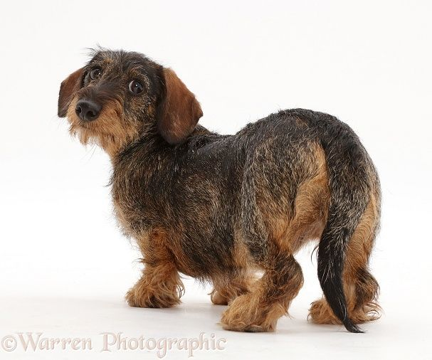 Wire Haired Dachshund Looking Over Shoulder White Background
