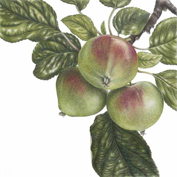 Ann Swan – The Society of Botanical Artists