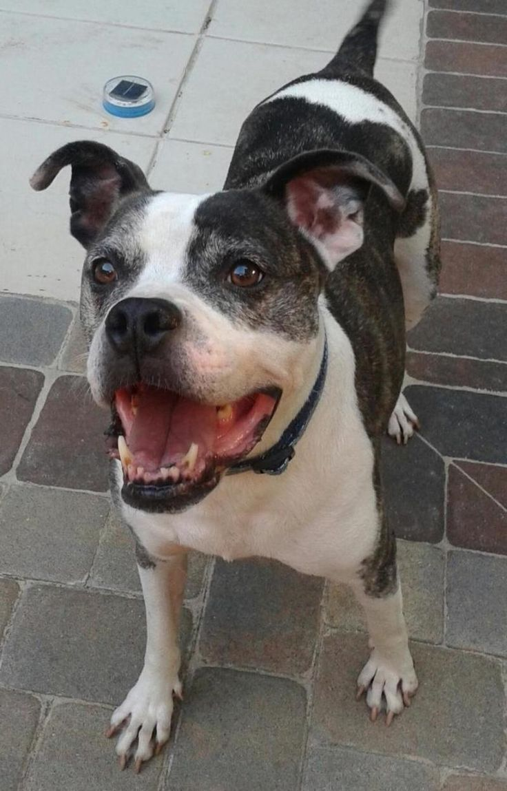 11/2017 sl 2/2016 STILL LISTED on Petfinder :  Meet PRIME TIME (PT), a Petfinder adoptable Pit Bull Terrier Dog | Hilton Head Island, SC | PRIMETIME is a 6-year-old beautiful Pit-bull mix. A car hit him as a puppy and then he was dropped...