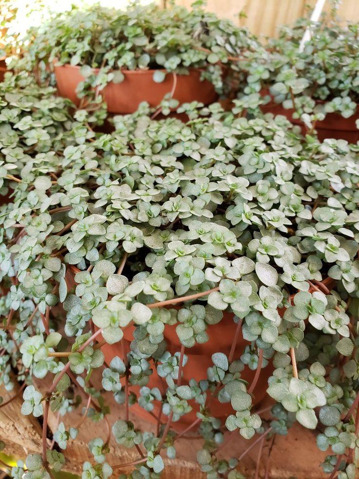 Pilea glauca 'Aquamarine' Plant care, Plants, House