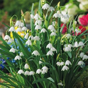 Leucojum vernum   Snowflakes have clusters of tiny white bell shaped flowers with a green spot on each petal. Prefers a shaded position (however will still grow in full sun), moist soils, and is ideal for pots and containers. Late winter flowering....