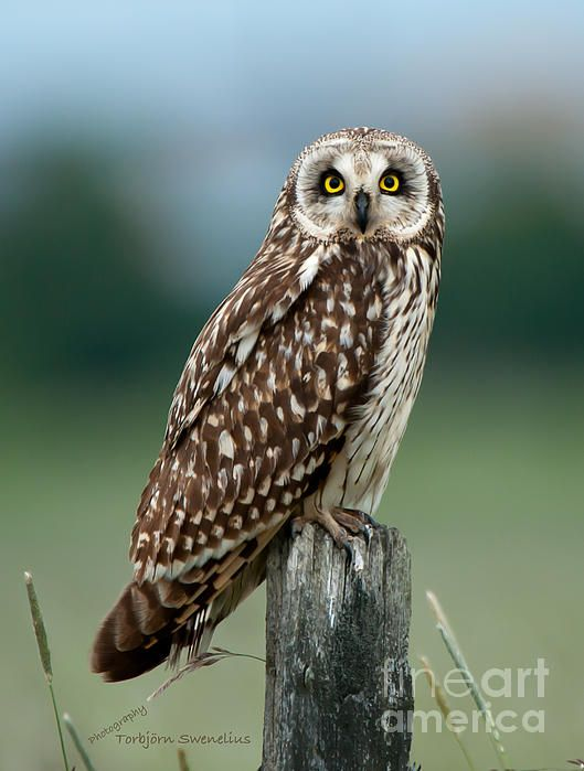 The short-eared owl (Asio flammeus) looking at you sitting on an old wooden post.
