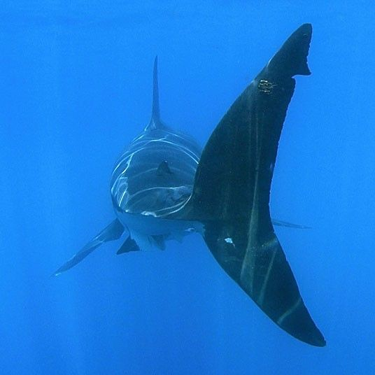 Tailfin of great white shark (Carcharodon carcharias) underwater, Guadalupe Island, Mexico (North Pacific)