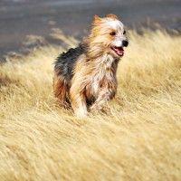 #dogalize Razas de Perros: Ovejero magallanico caracteristicas #dogs #cats #pets