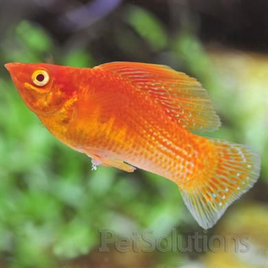 17 best images about aquariums mollies swordtails on for Types of saltwater fish to eat