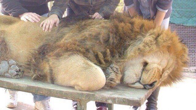Argentina. Close the Zoo Lujan and release the lions. Petition · CIERREN EN ZOOLÓGICO DE LUJAN Y LIBEREN A LOS LEONES · Change.org