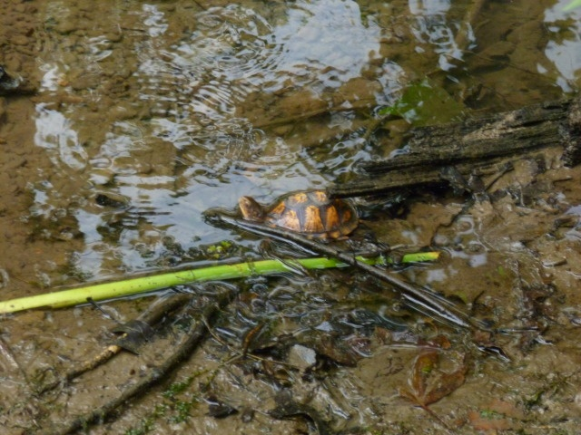A small yellow belly turtle, from my last hike.
