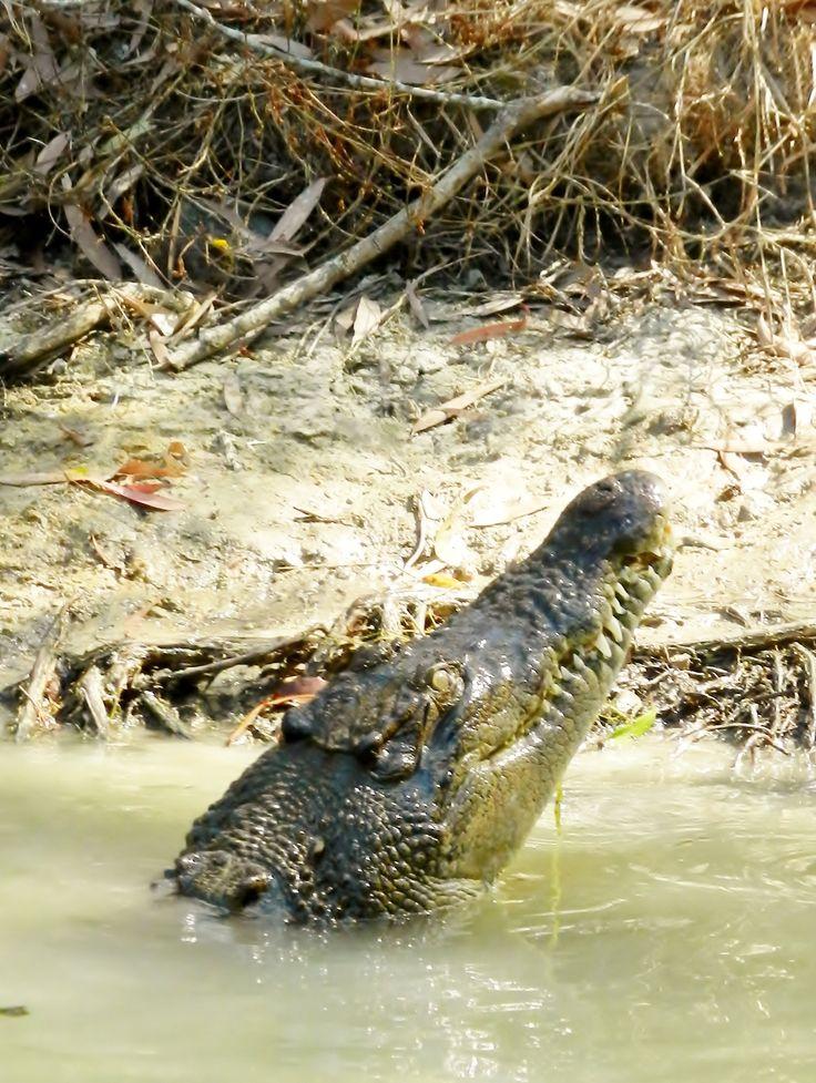 Crocodile. Salt Water Crocodile. Port Douglas Australia. Photo by http://worldtravelfamily.com