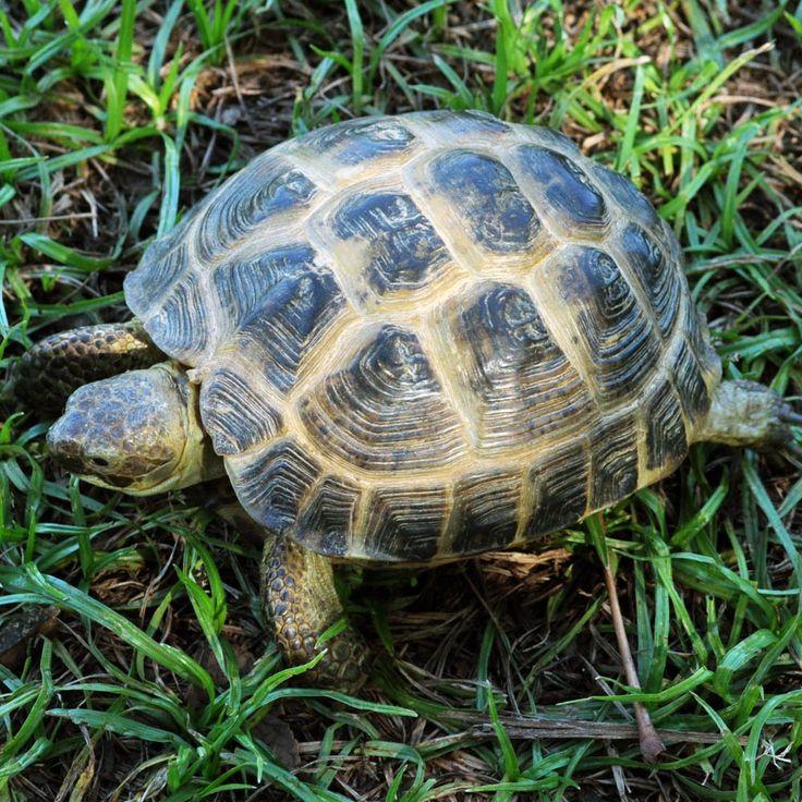 59 Best Russian Tortoise Images On Pinterest Turtles