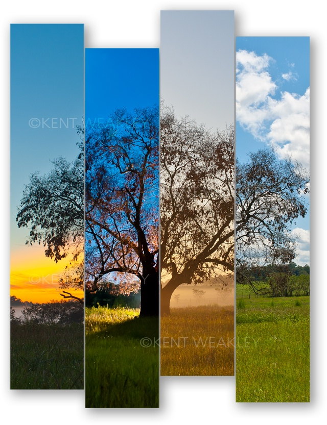 """Staggered Timing"" which is a four-panel gallery wrapped stretched canvas group of images that form one complete tree at different times, in different light.  photo by Kent Weakley"