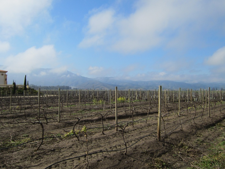 The vineyards in Casablanca, Chile, just beginning a new season of production. Photo by CD.