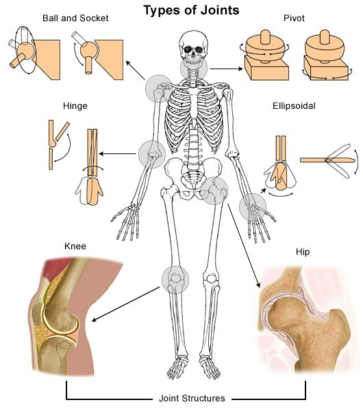 Types of Joints in the body: ball and socket, pivot, hinge, and ellipsoidal.