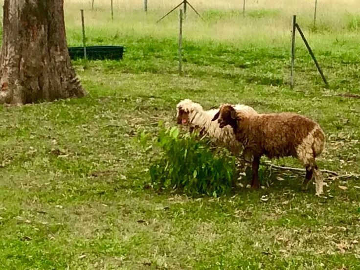 More of the very free range and happy sheep at Towri Sheep Farm in the Scenic Rim in SEQueensland.