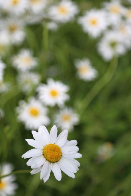 Päivänkakkarat // daisies