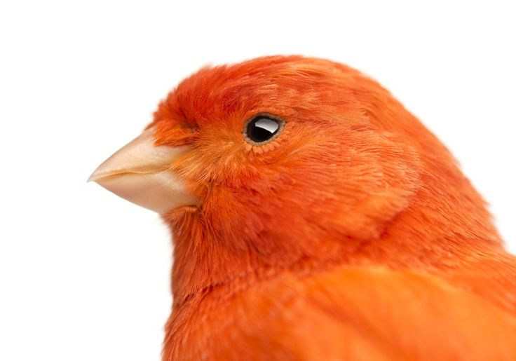 Intense breeding since the 1300s has bread canaries of all colors of the rainbow. But until 1920, one color, red, remained elusive. After crossing the canaries with the red siskin of Venezuela (and…