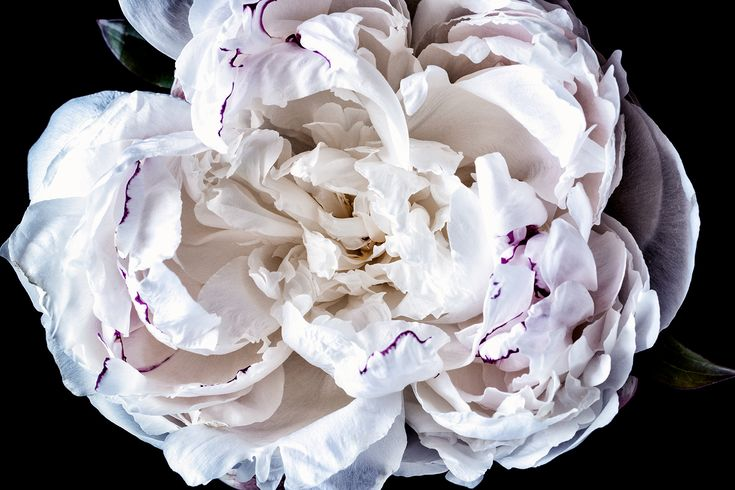 Stunning white peony with magenta highlights. The perfect artwork to remember a beautiful bouquet. Floragraphica | Modern bouquet preservation with photography