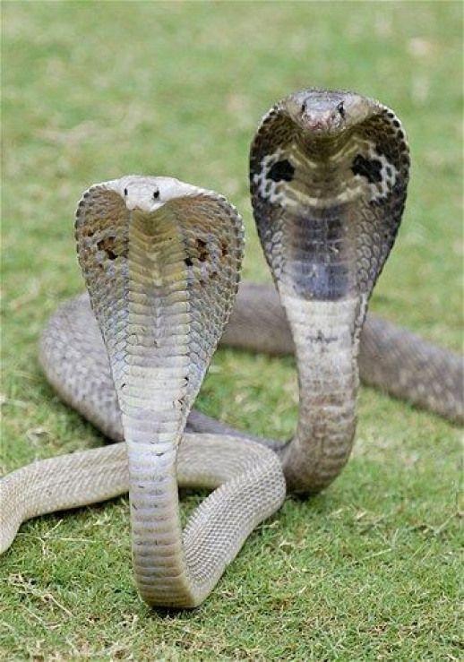 фото подружек змей эллипсовидные, заострённые кончиках