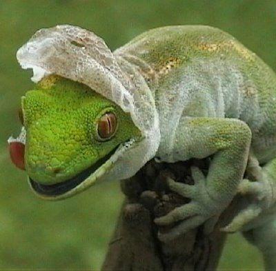 awesome gecko shedding